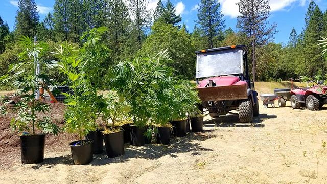 Lining up the males for a quick execution 🌱🔫 #NoBoysAllowed #GrowOregon #Measure91 #recreational #OrganicCannabis #SustainableFarming #ApplegateValley #WilliamsCanna