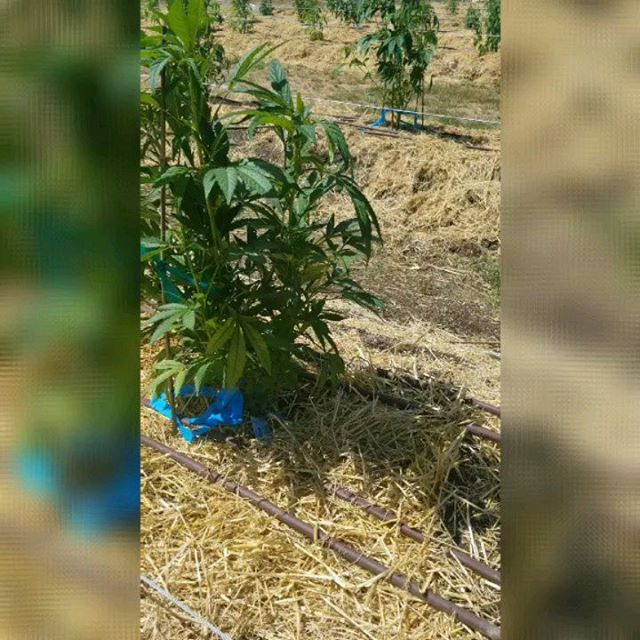 Got 'em in the ground and off to a beautiful start 🤩🍃🕉🖤 #OrganicCannabis #Measure91 #recreational #Sungrown #SustainableFarming #RaiseYourFrequency #SmokeBetterWeed #HigherStateOfBeing #LiftedLifestyle