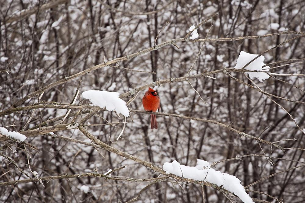 Cardinal : Fresh Lemons Quilts