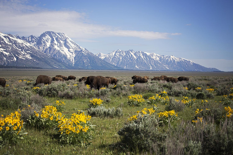 Bison, Grand Teton National Park