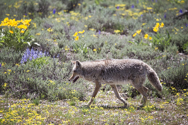 Coyote, Grand Teton National Park