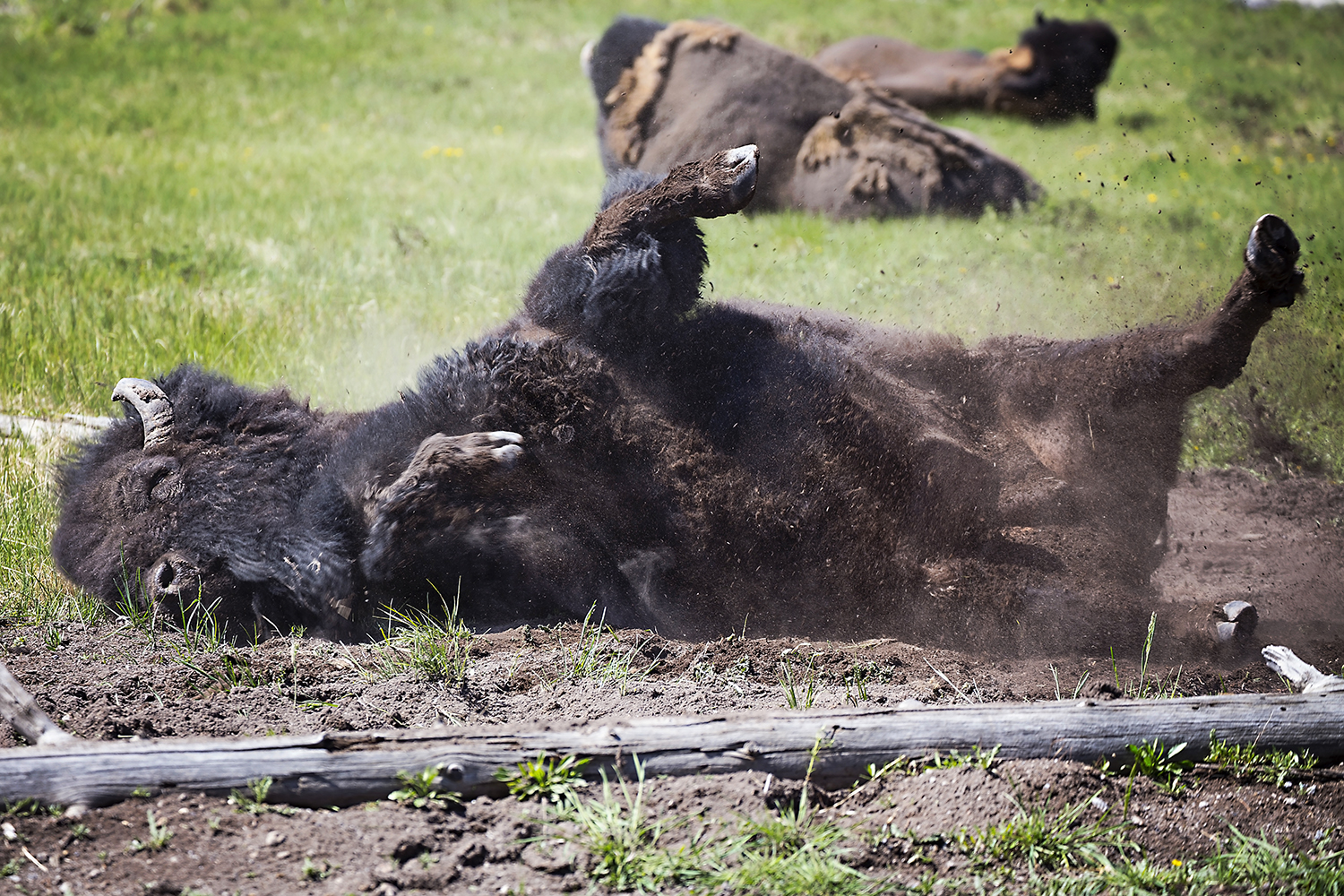 Hilarious Bison, Yellowstone National Park