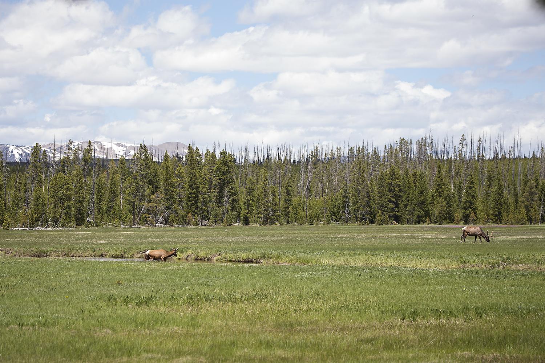 Elk, Yellowstone National Park
