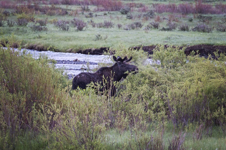 Moose, Yellowstone National Park