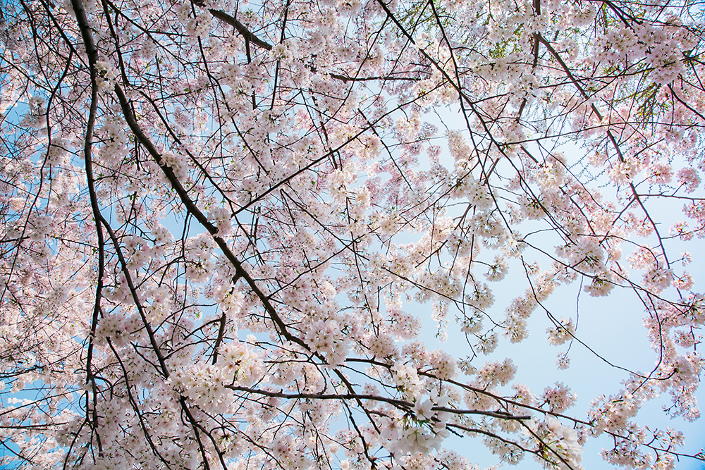 Cherry Blossom Inspiration