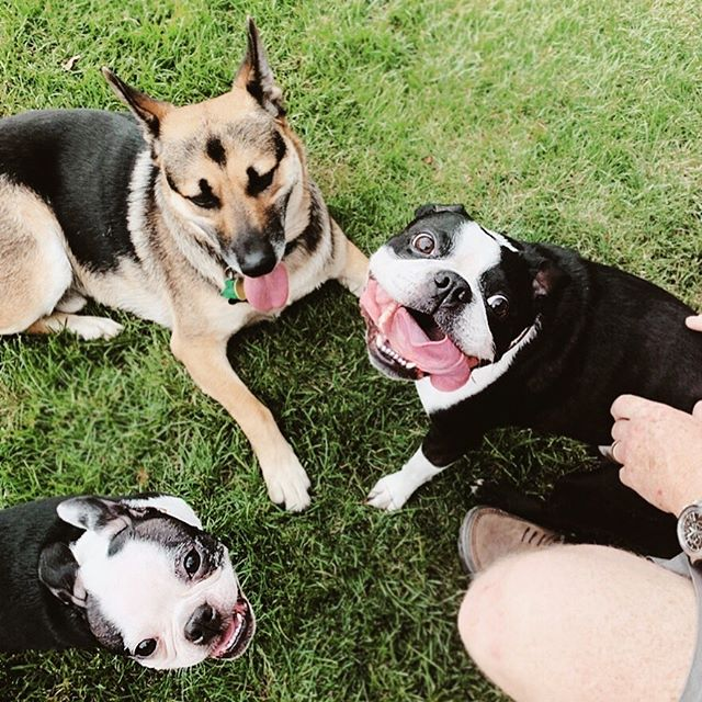 Photo from grand-dog daycare, featuring Roy, the good boi.  Smiles abound. #pennyloutheboston  #maxwelltheboston . . . . . . . . #abmlifeiscolorful #abmhappylife #abmlifeissweet #dscolor #colorventures  #thehappynow #flashesofdelight #livethelittlethings #livecolorfully #bostonterriercult #prettylittlething #thatcolorproject #vsco #vscocam #vscodaily #persuepretty #mybeautifulmess #acolorstory #creativelyfound #darlingmoment #dogsofinstagram #bostonterrier #puppiesofinstagram #bostonterrierlove #bostonterrierpuppy #acolorstory