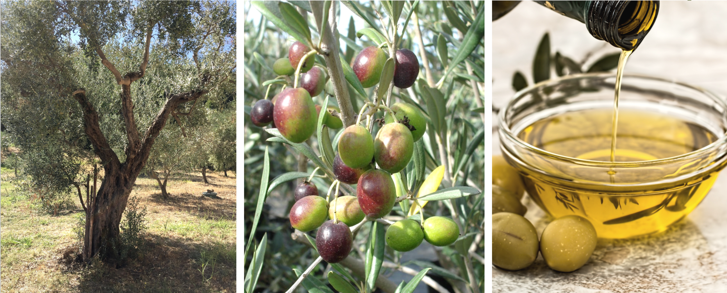 Olive Oil Process.png