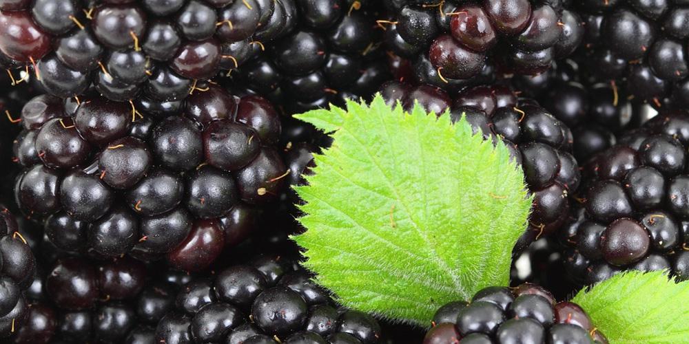 certified-ingredients-blackberry-leaf.jpg