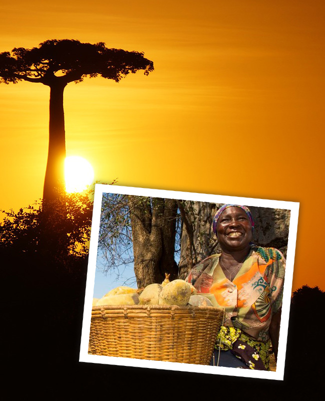 """The Baobab superfruit - ZIMBABWEThe Baobab tree is known in Africa as """"The Tree of Life"""" as every part of it has myriad traditional applications. It is an iconic species, with a trunk that can span 25 meters, and bat-pollinated white flowers that develop into hard-shelled fruits, containing seeds coated with a white powder.With its high nutrient density, rich in antioxidants, potassium, and vitamin C, baobab is is increasingly being recognised across the world as a """"superfruit"""", with the cold-pressed seeds producing an oil which is also used in cosmetics.FairWild-certified Baobab from Zimbabwe is supporting the development of local communities simultaneously ensuring these iconic trees are protected from over-exploitation.The set-up of a collector's association, fair trade partnerships, training activities, and a FairWild Premium fund for community projects are demonstrating the role sustainable wild harvesting can play within wildlife conservation AND human development."""