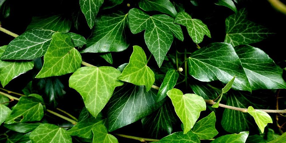 potential-ingredients-ivy.jpg