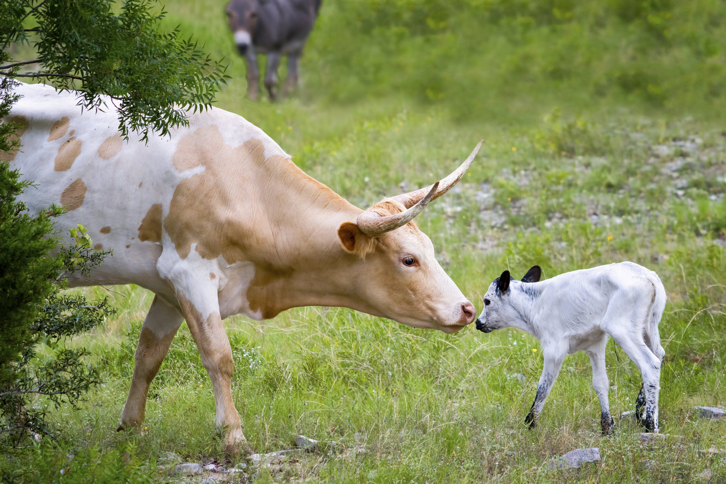iStock_Longhorn Cow and Calf BRAD 44330640.jpg
