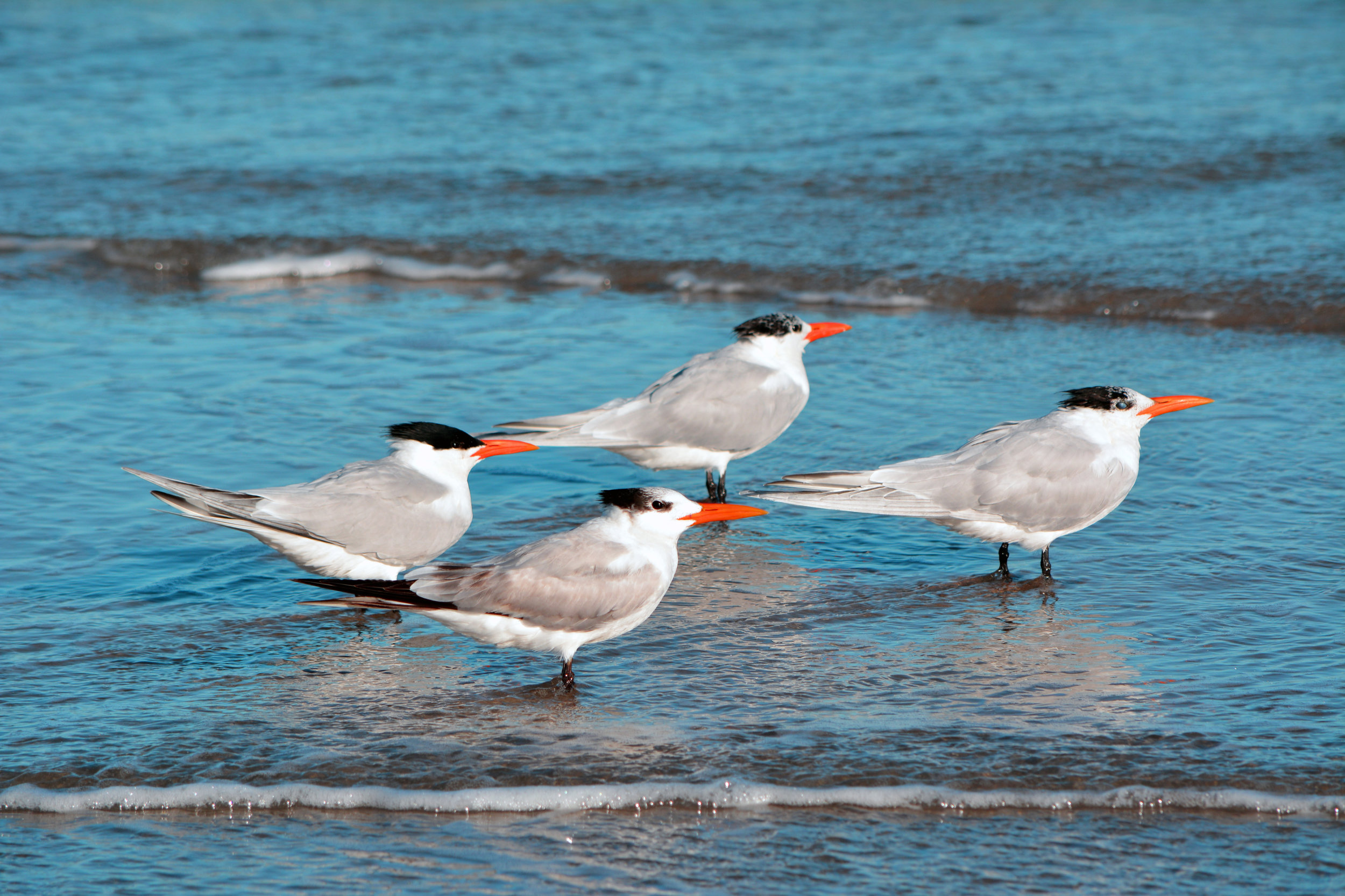 iStock-Four Royal Terns510081318.jpg