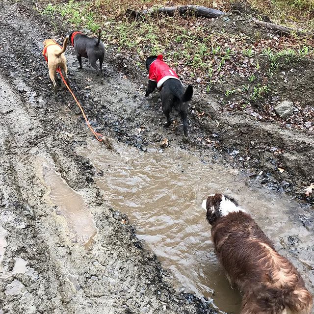 🐾Yesterdays rain couldn't stop us from having fun! Party, Bela, Modi, and Tenner gettin' their mud bath on 🐶 . 🐾 . 🐾 .  #dogcamp #dogsonadventures #dogsofinstagram #vtdogs #dogstagram #doglovers #hikingwithdogs #dogsthathike #dog #outdooradventures #vermont #liveoutdoors