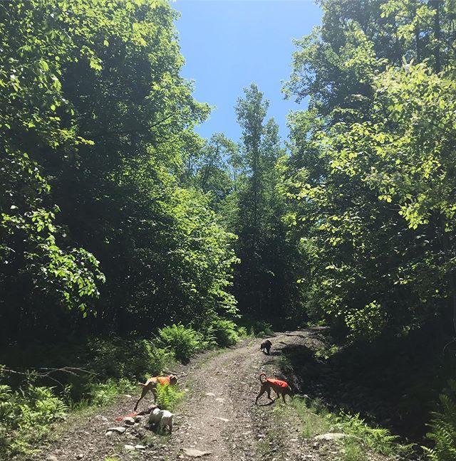 🐾🎶 Sunshine Daydream ☀️ 🌞 . 🐾 . 🐾 .  #dogcamp #dogsonadventures #dogsofinstagram #vtdogs #dogstagram #doglovers #hikingwithdogs #dogsthathike #dog #outdooradventures #vermont #liveoutdoors #spring