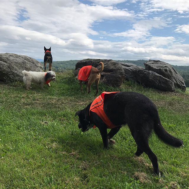 🐾Wednesday Friendsday 🌲☀️ 🐾 . 🐾 .  #dogcamp #dogsonadventures #dogsofinstagram #vtdogs #dogstagram #doglovers #hikingwithdogs #dogsthathike #dog #outdooradventures #vermont #liveoutdoors #summer