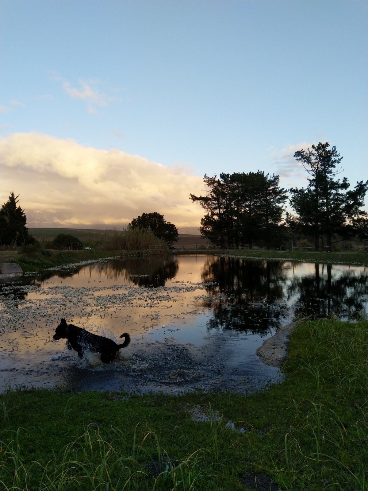 After the winter rains, the dams are (hopefully) all filled to the brim. My garndparents' dog, Titania, splashing through waterblommetjies.