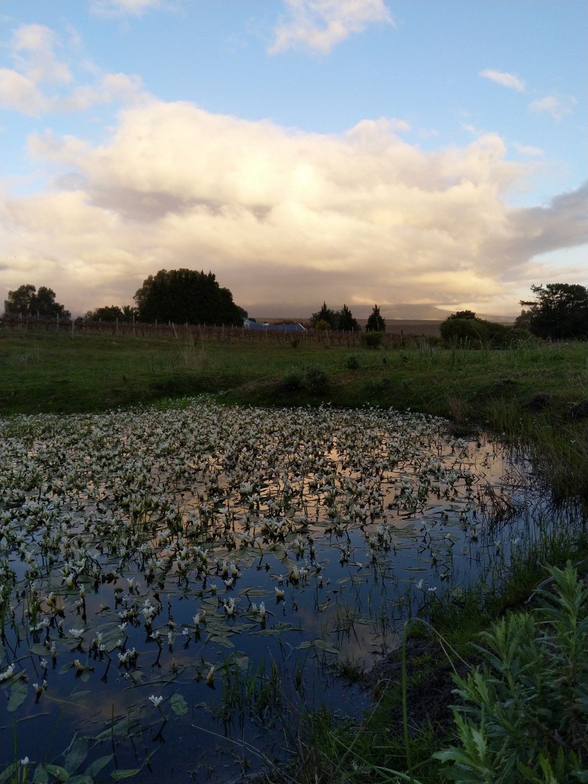 More waterblommetjies, a whole pond. These are edible and make a delicious traditional Cape lamb stew ingredient.