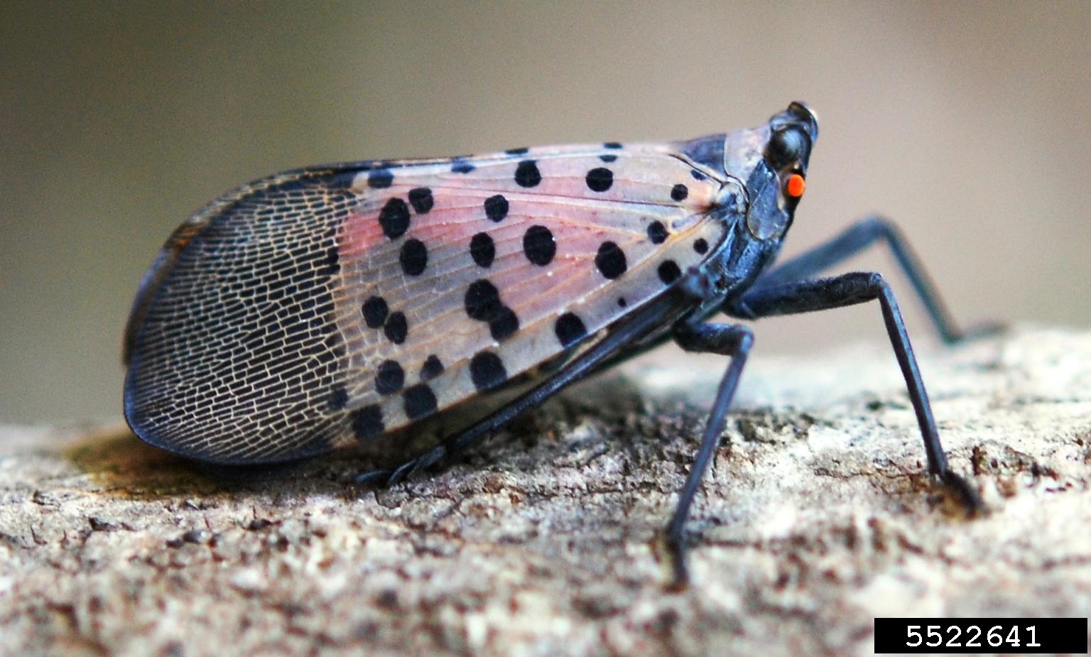 SpottedLanternfly.jpg