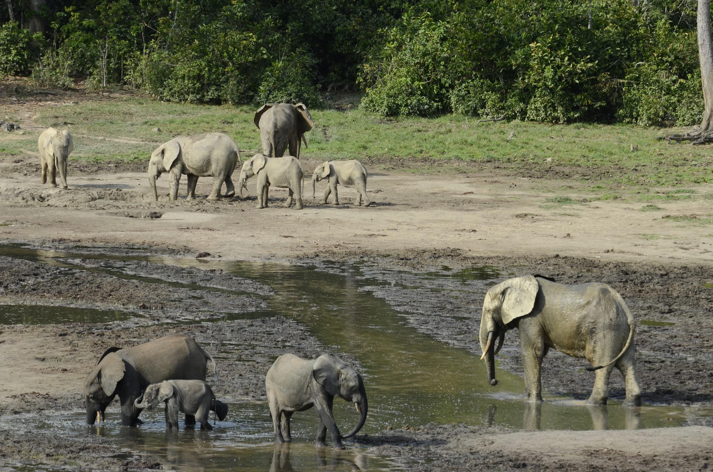 Cristián-Samper_5802_African-Forest-Elephants-Dzanga-Bai-Dzanga-Sangha_CAF_01-23-13.jpg