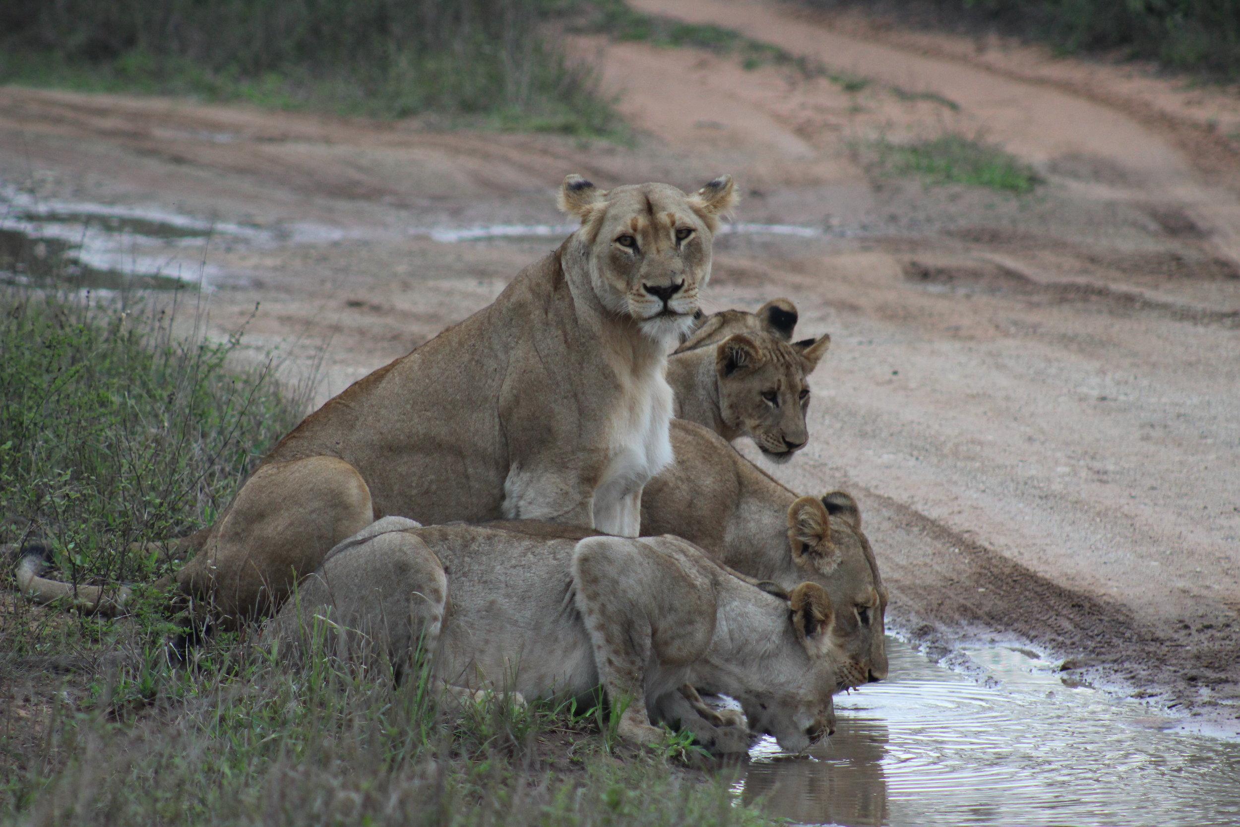 lion family south africa safari 2.JPG