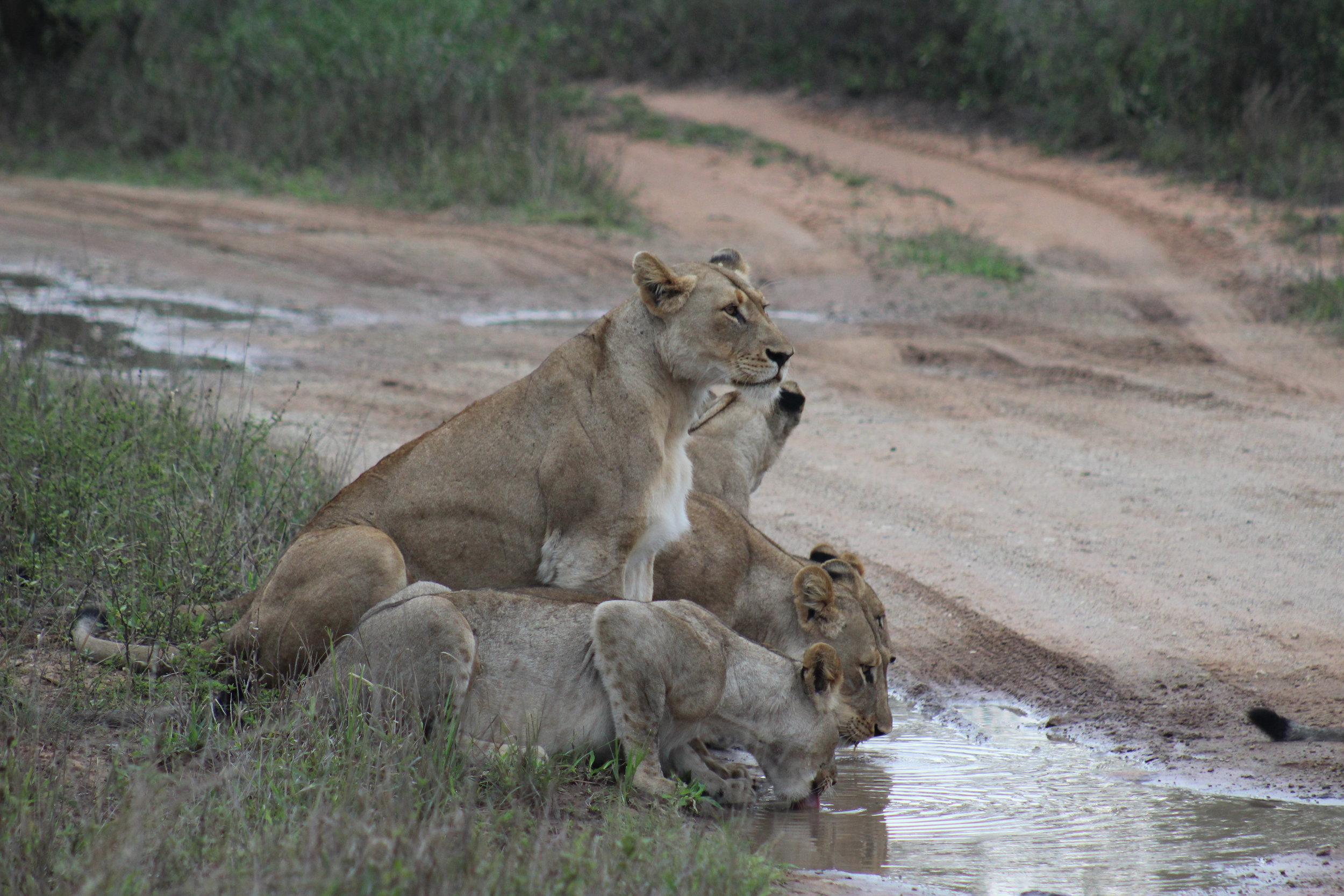 lion family south africa safari.JPG