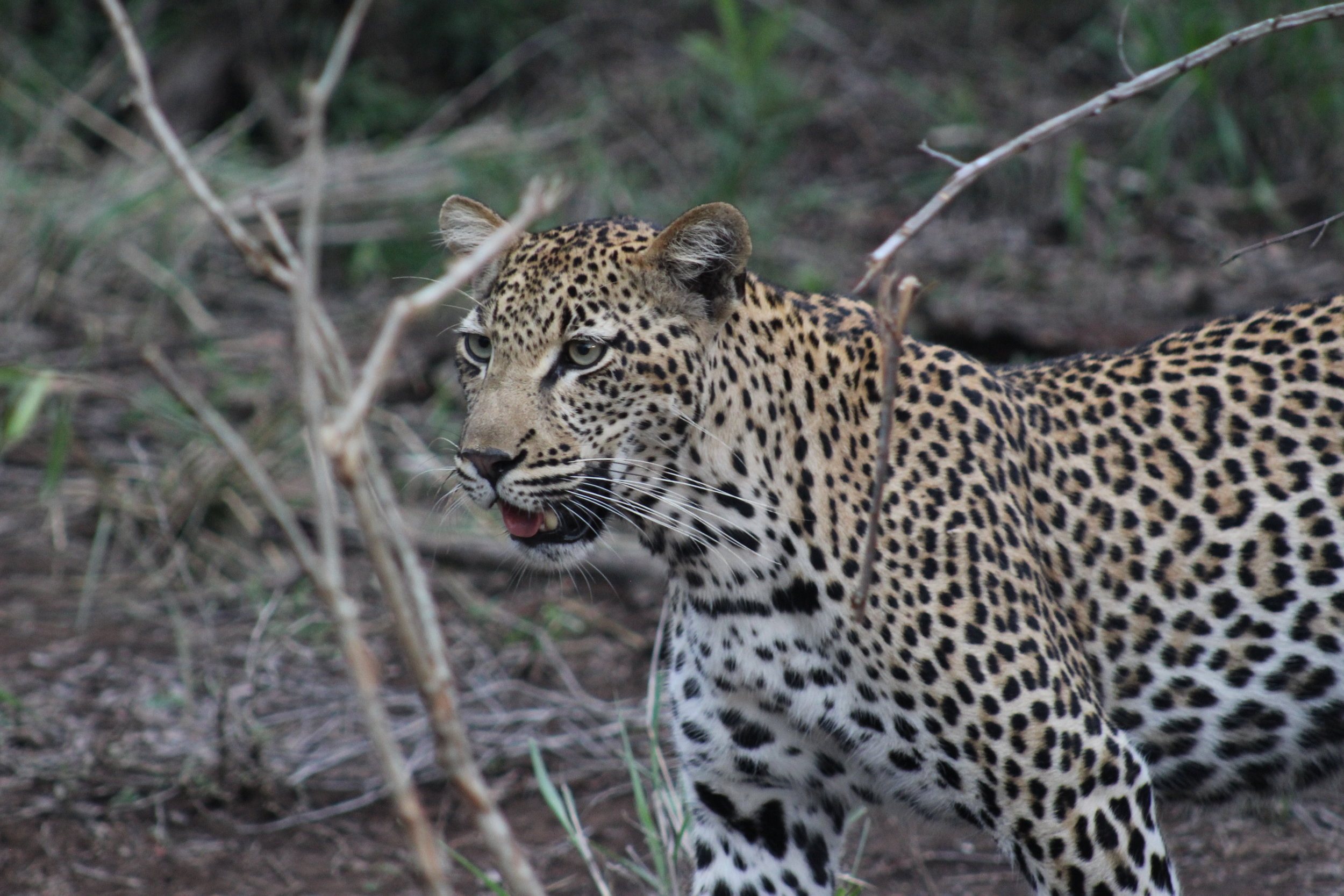 leopard safari south africa.JPG