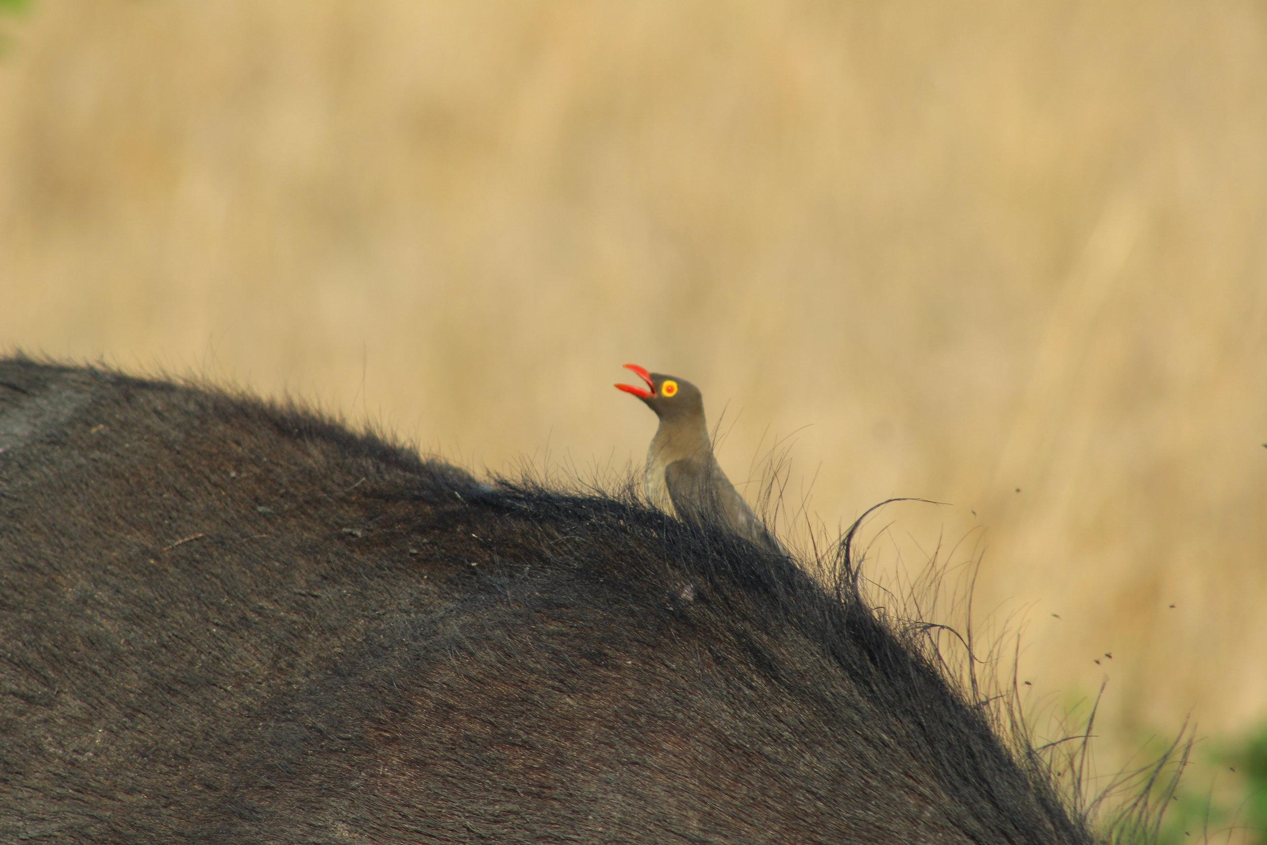 oxpecker bird south africa safari.JPG
