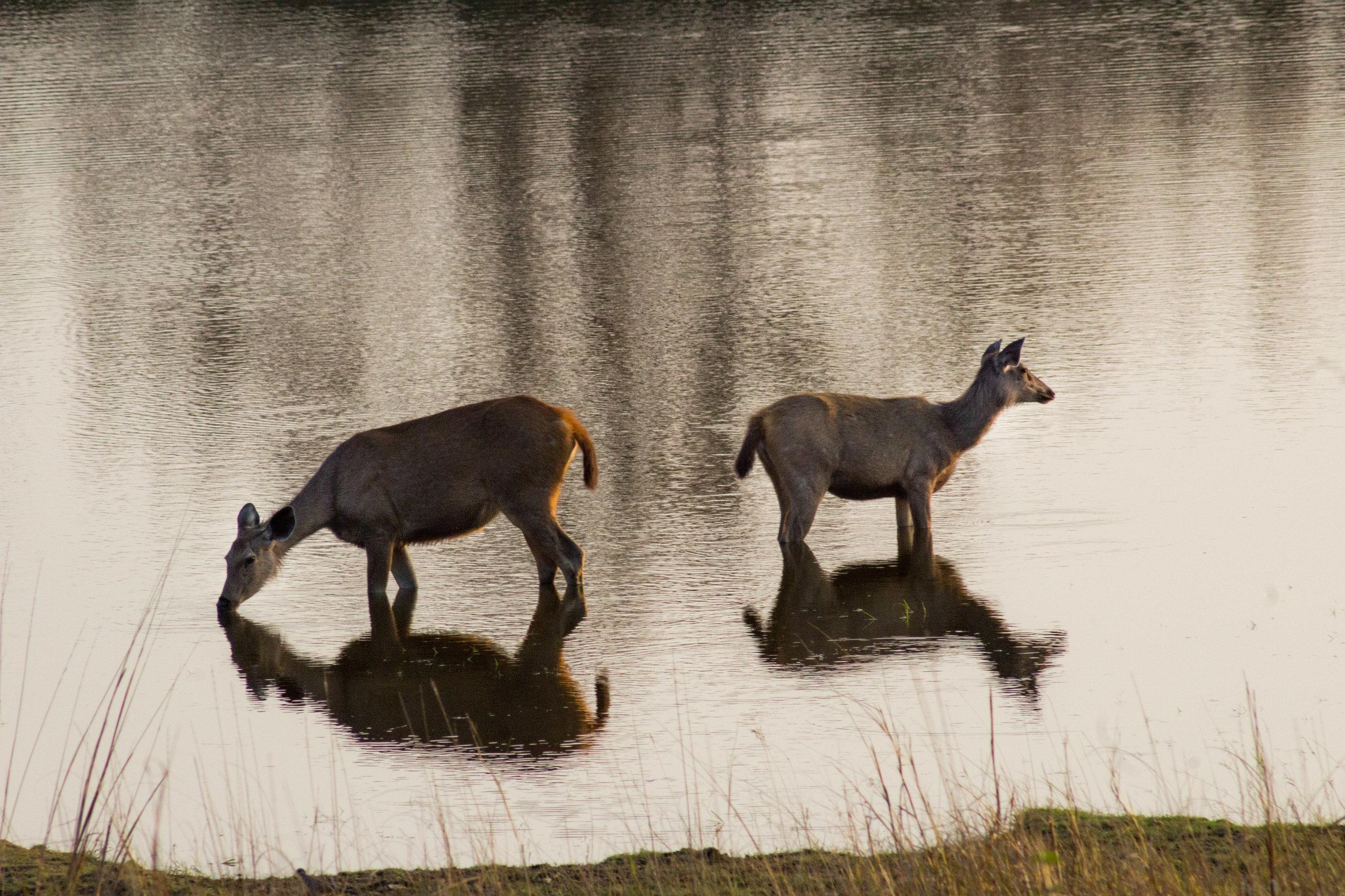 Two deer in water sunset India (1 of 1).jpg