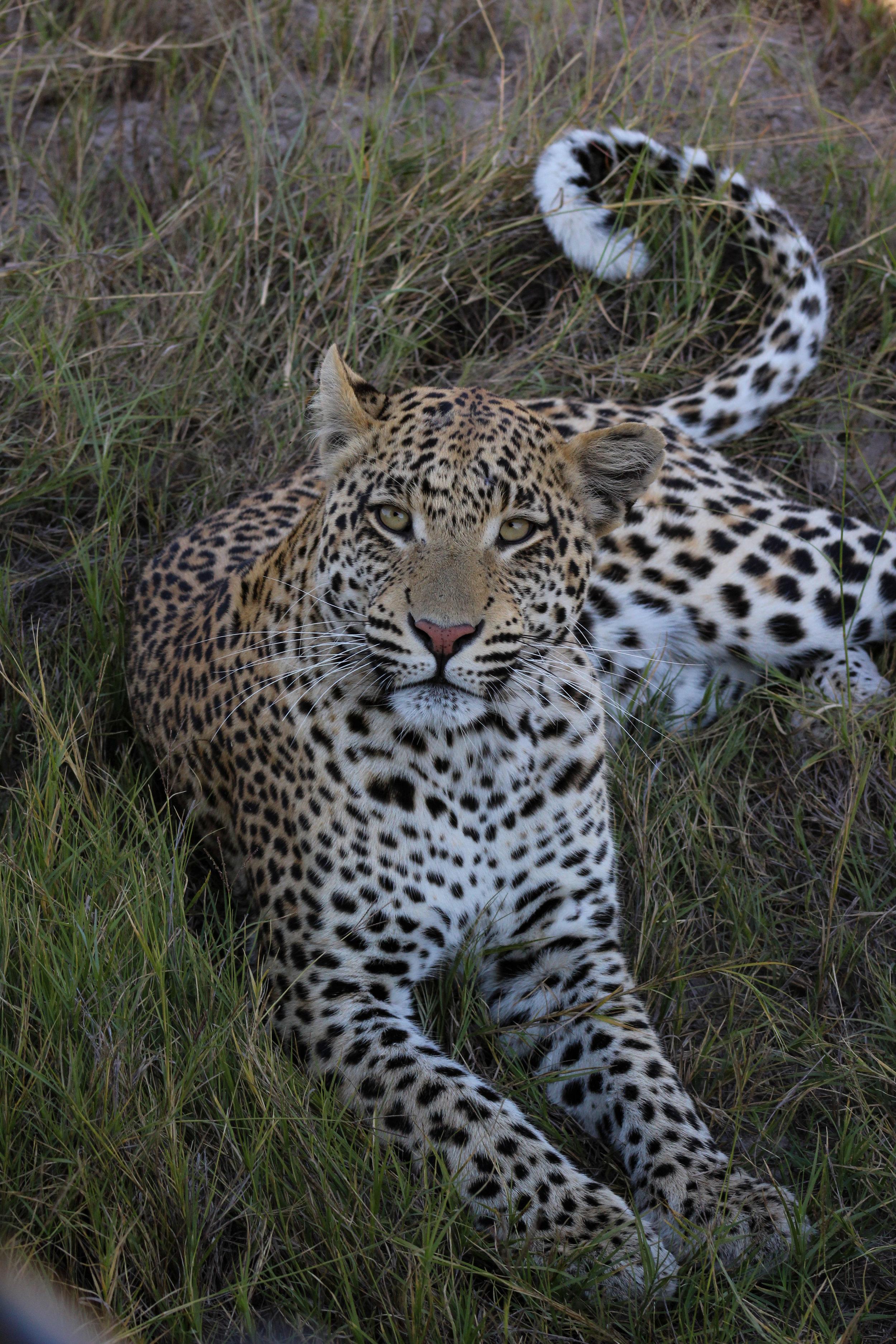 male leopard by car botswana 2015 (1 of 1).jpg