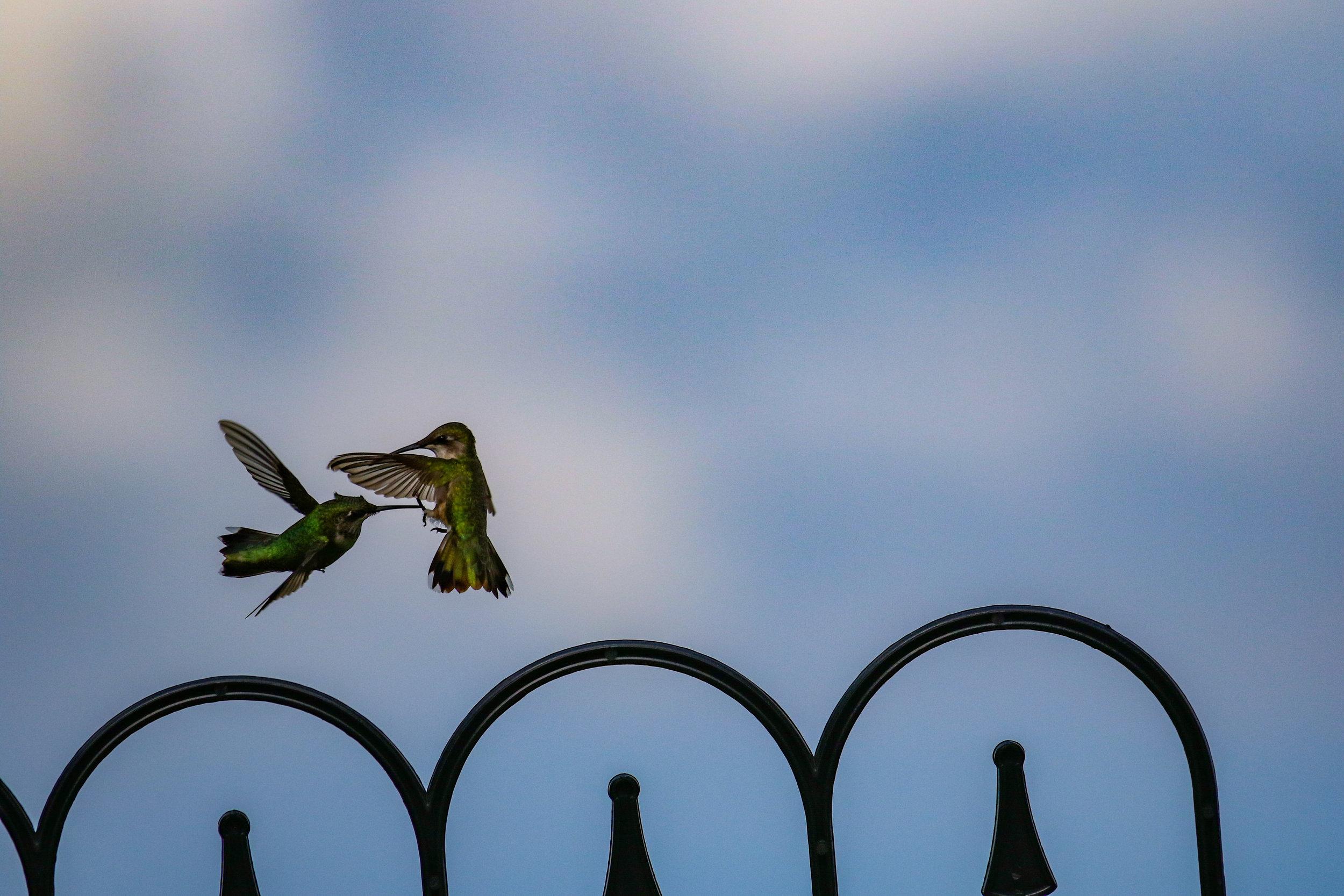 Hummingbirds fighting North Carolina  (1 of 1).jpg