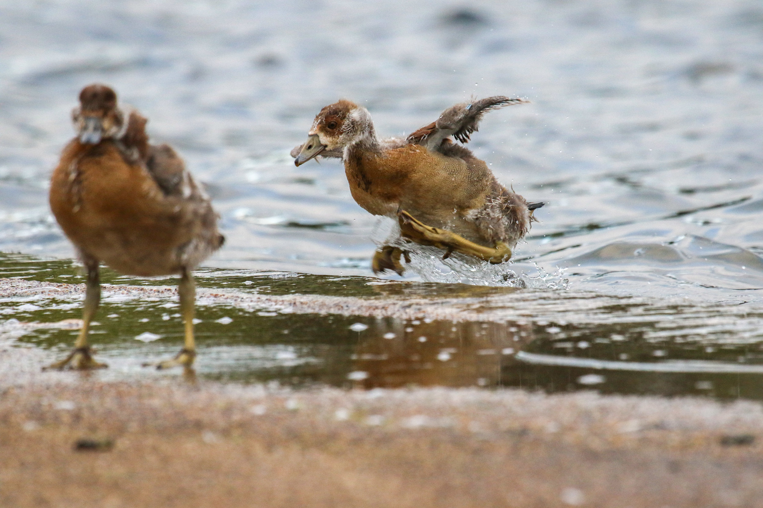 egyptian gosling coming out of water goose london hyde park (1 of 1).jpg