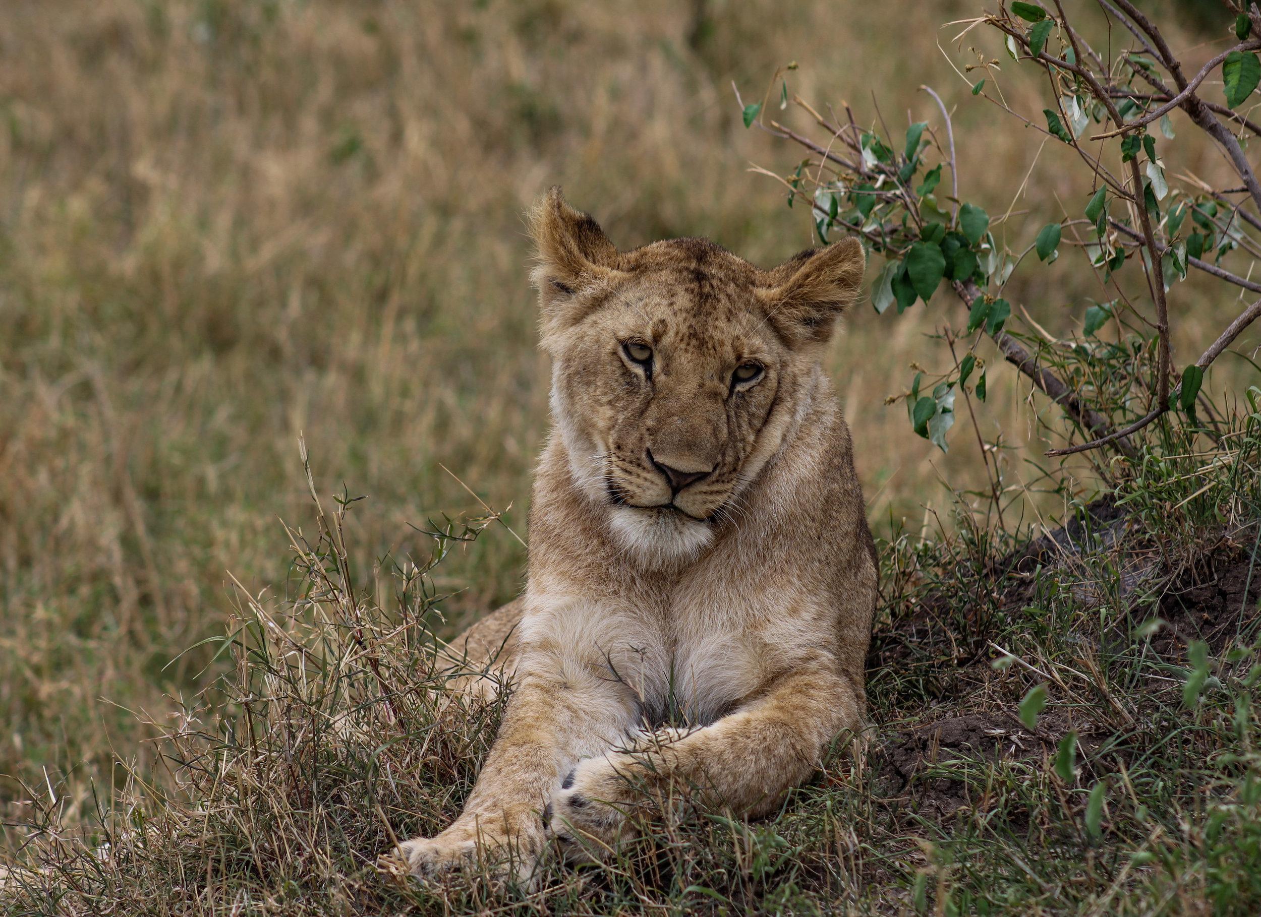 Lion TBD (1 of 1).jpg