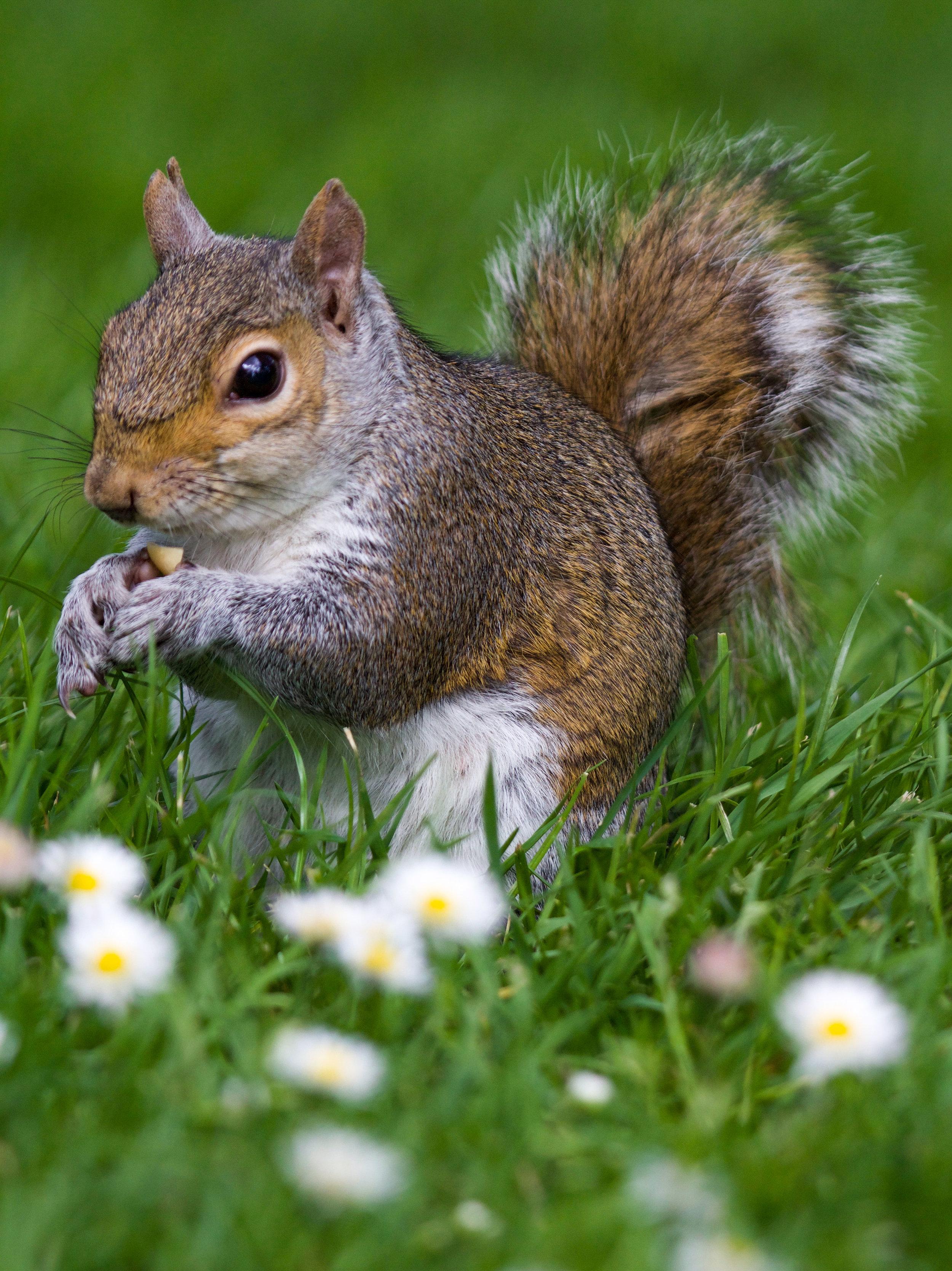 eastern gray squirrel eating hyde park london (1 of 1).jpg