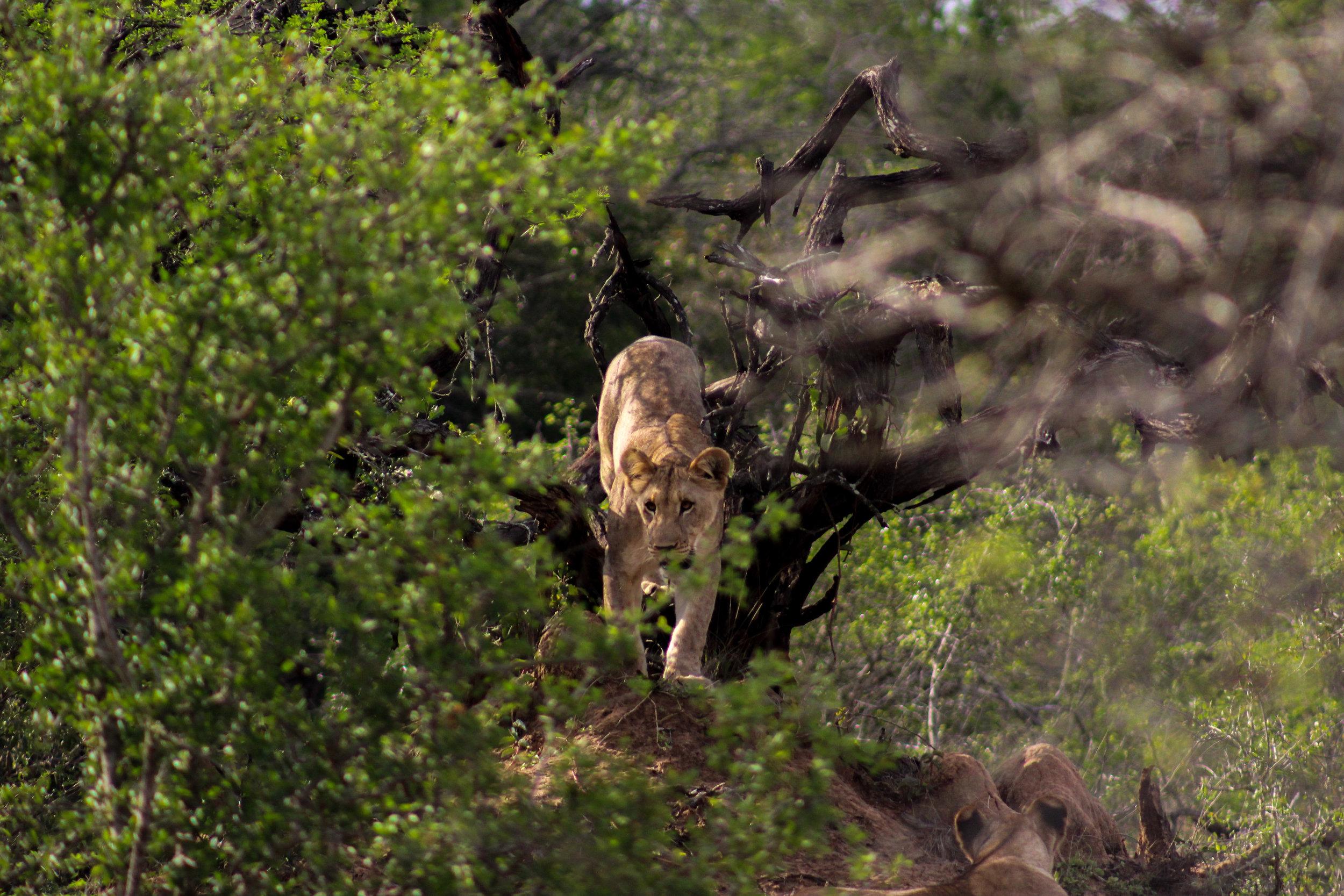 tree lions (1 of 1).jpg
