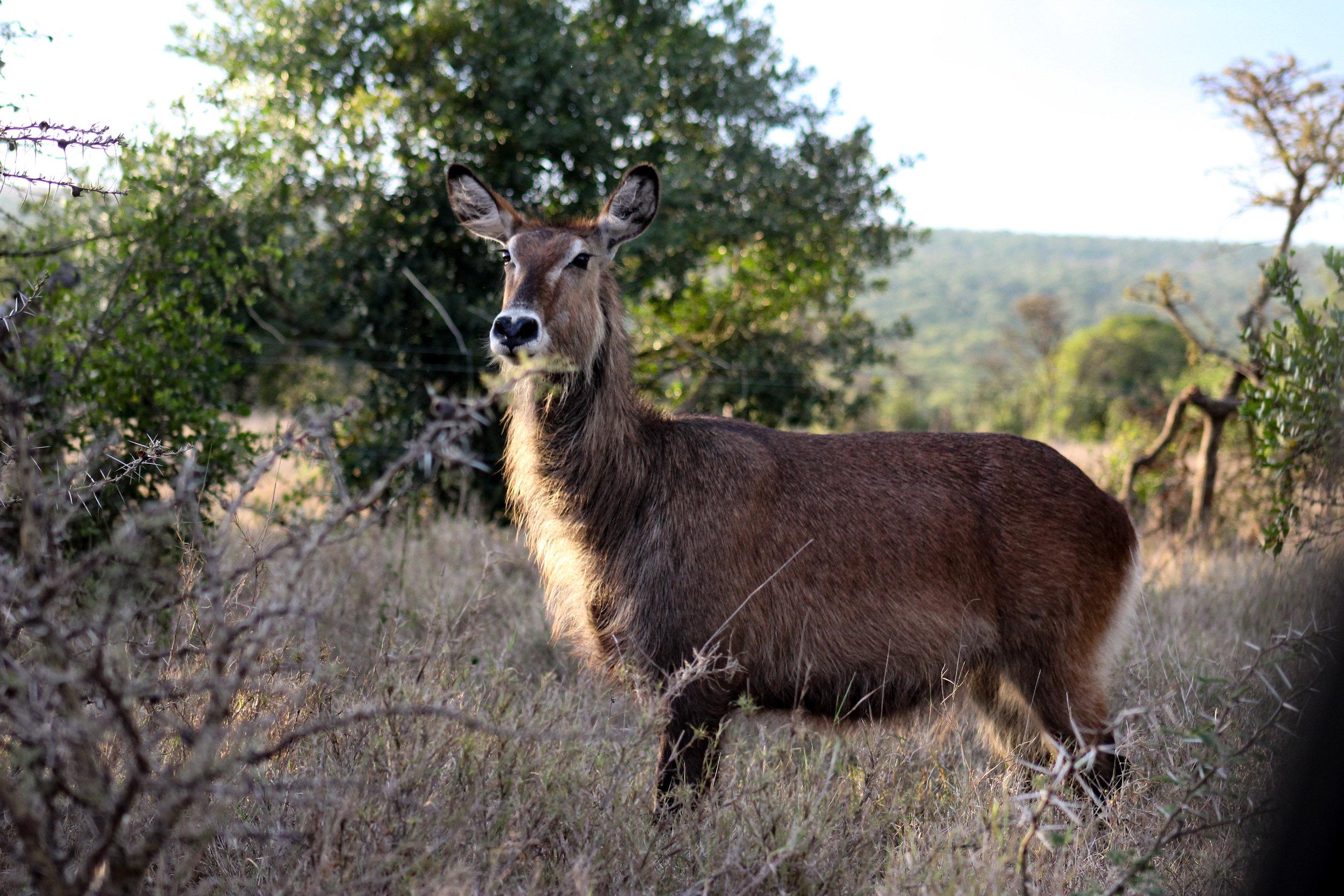 africa waterbuck antelope (1 of 1).jpg