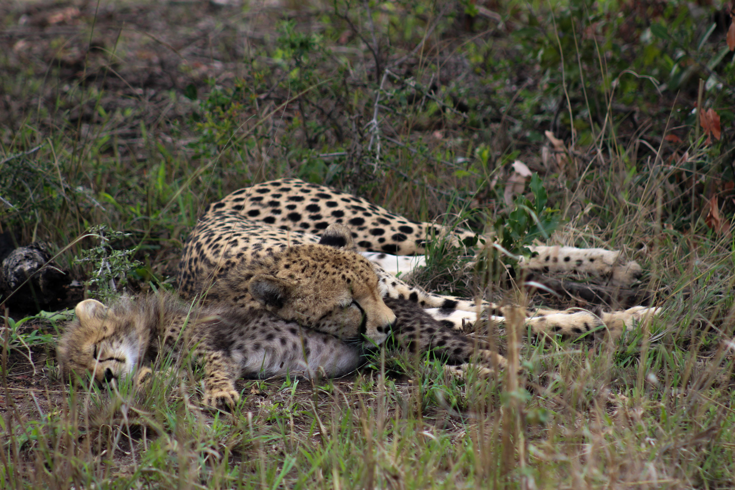 cheetah and cub south africa (1 of 1).jpg