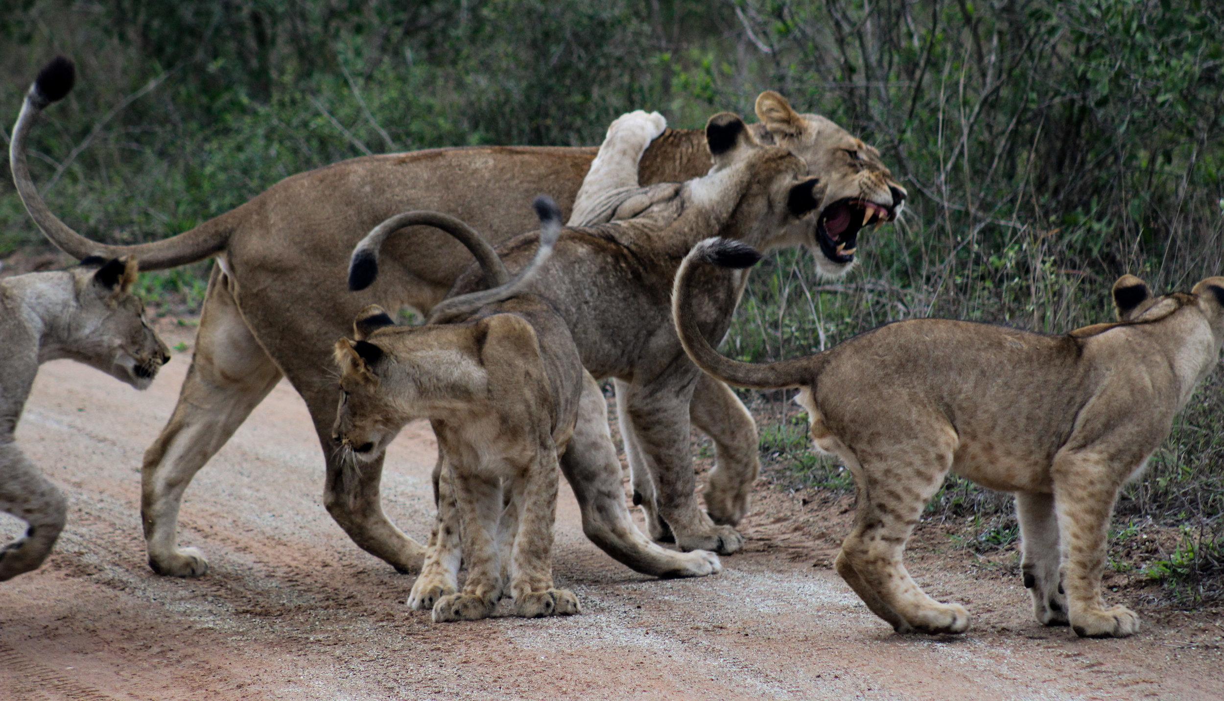Lion family Phinda 2017 (1 of 1).jpg