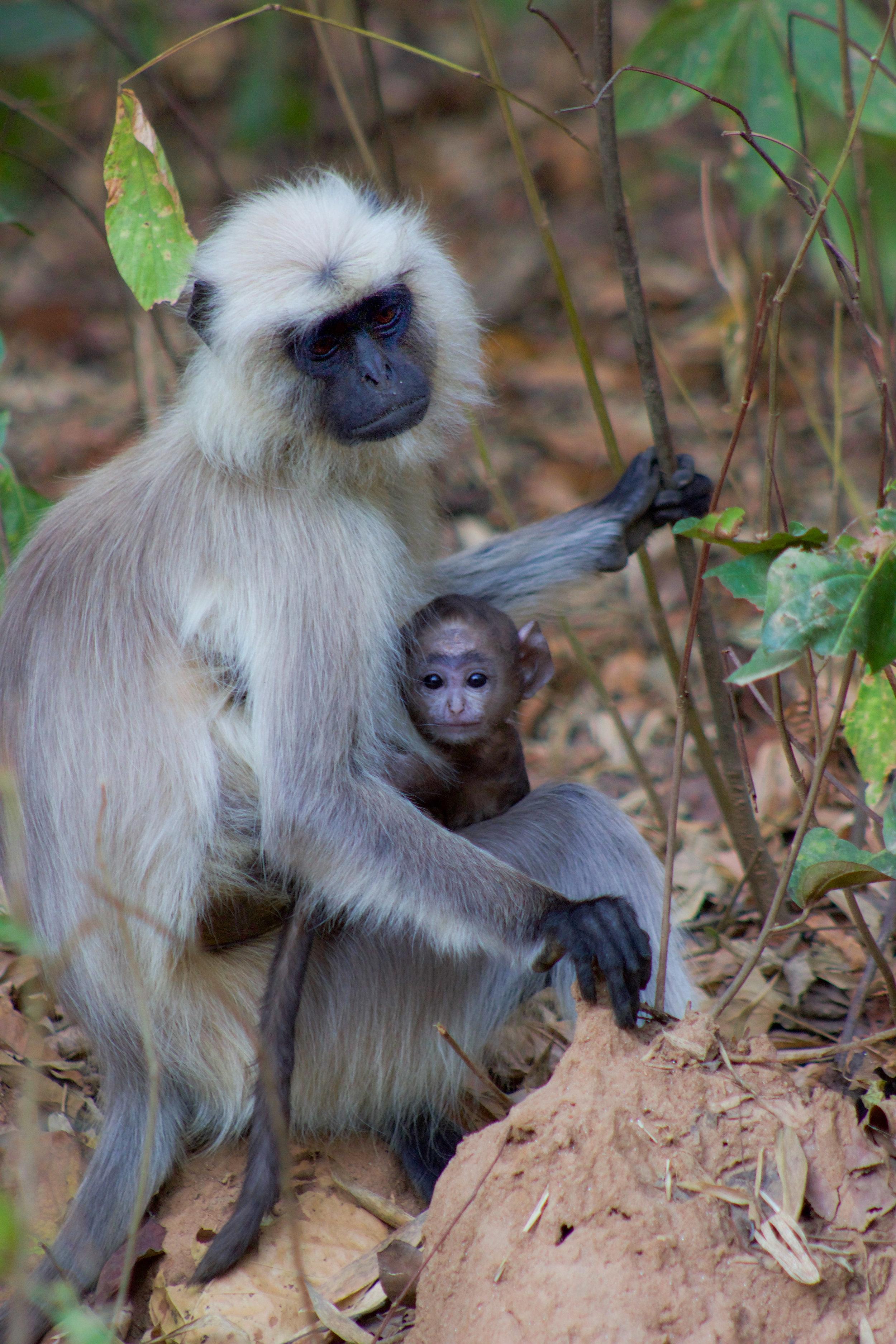 kanha india langhur monkey and baby (1 of 1).jpg