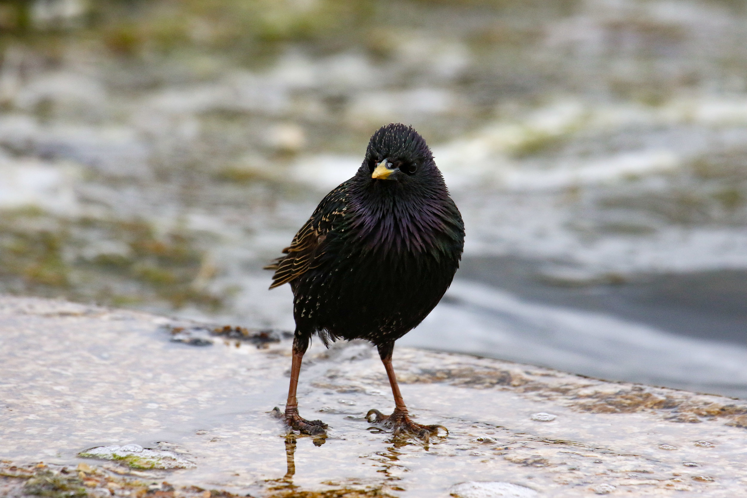 male starling posing (1 of 1).jpg