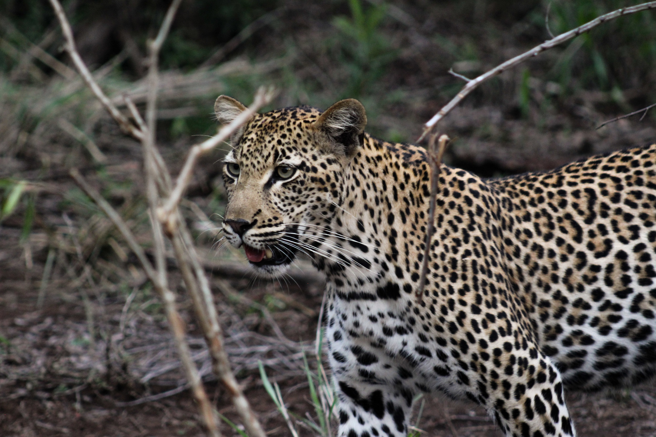 south africa leopard  (1 of 1).jpg