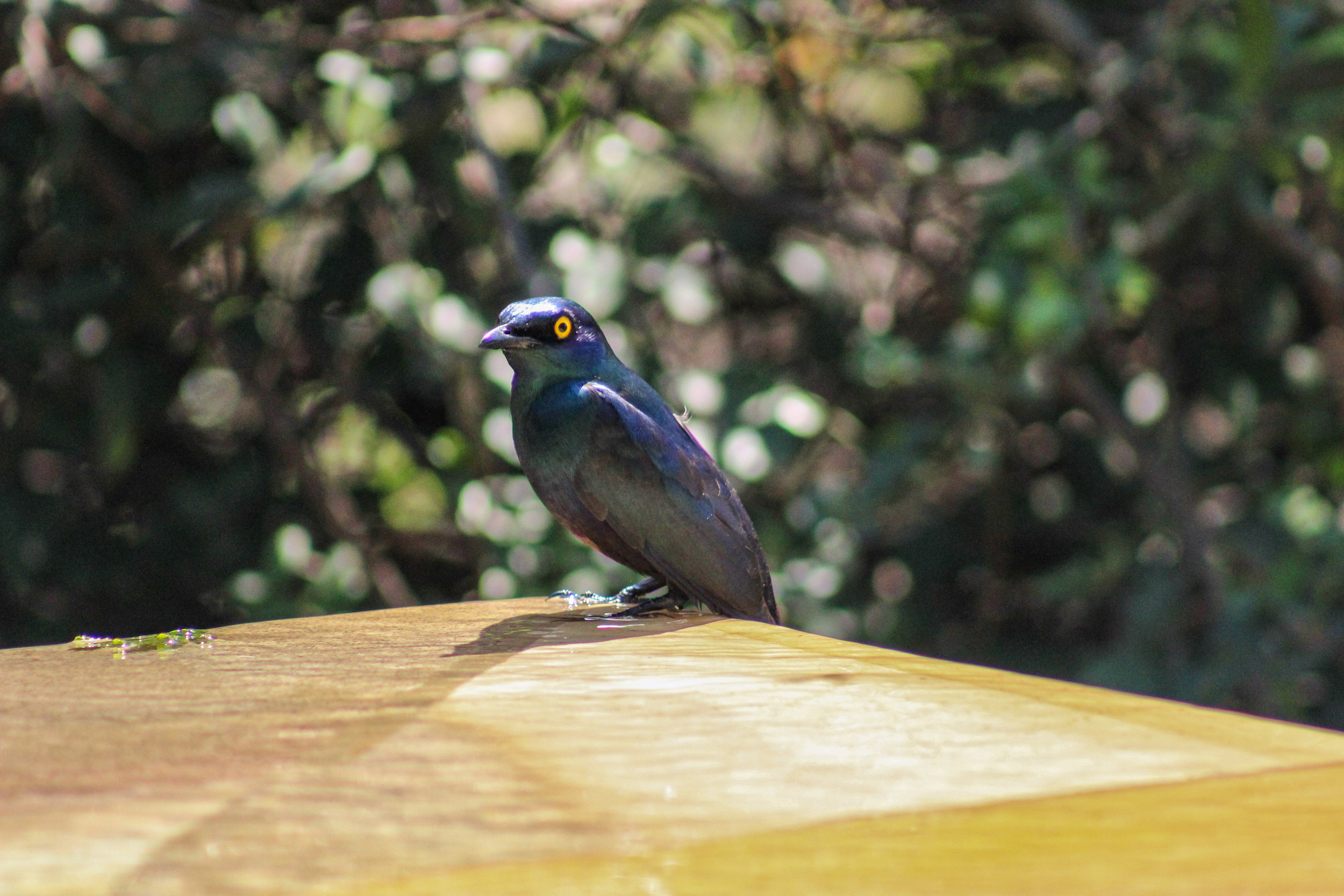 south africa cape glossy starling bird (1 of 1).jpg