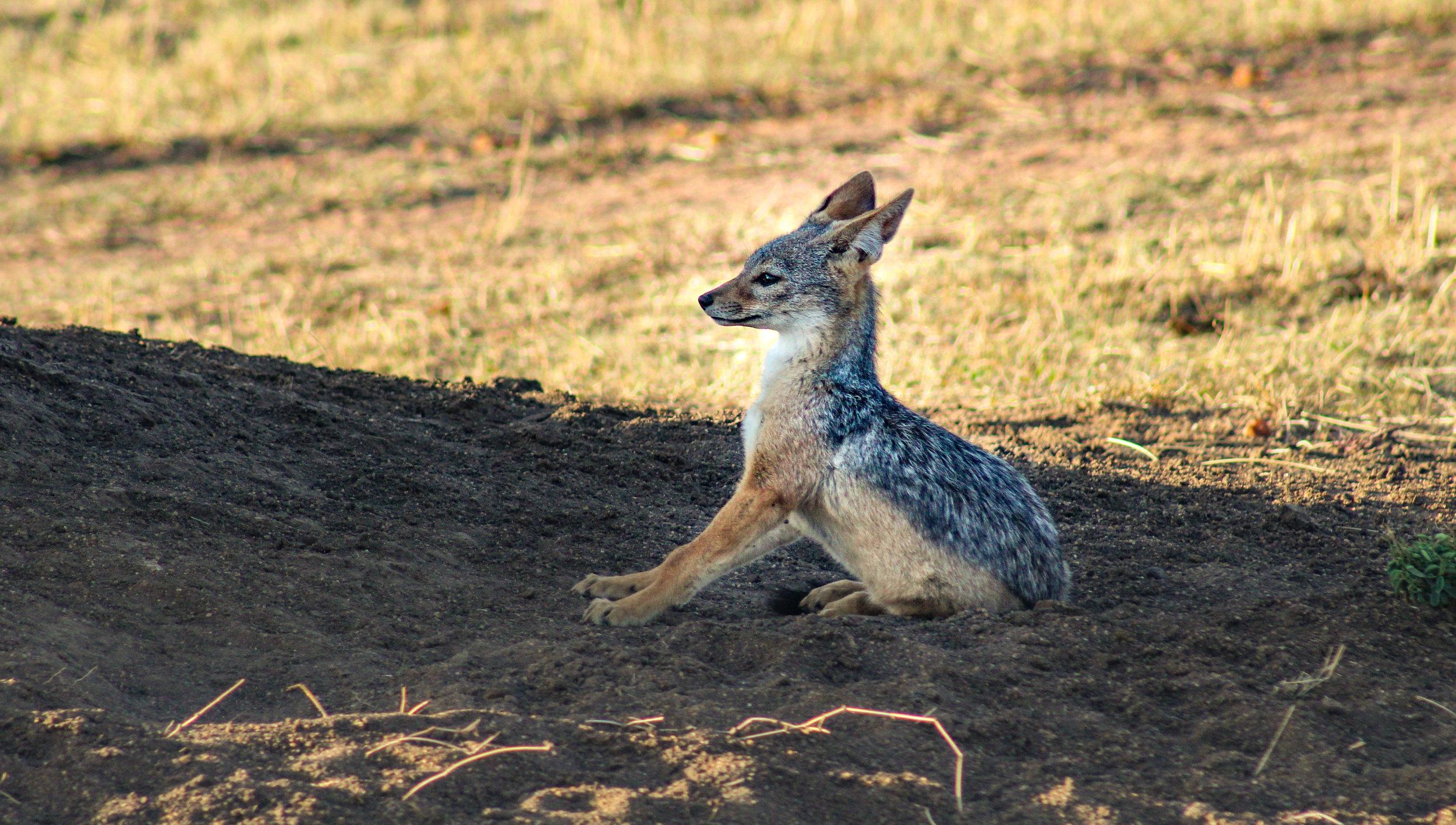 africa african jackal (1 of 1).jpg