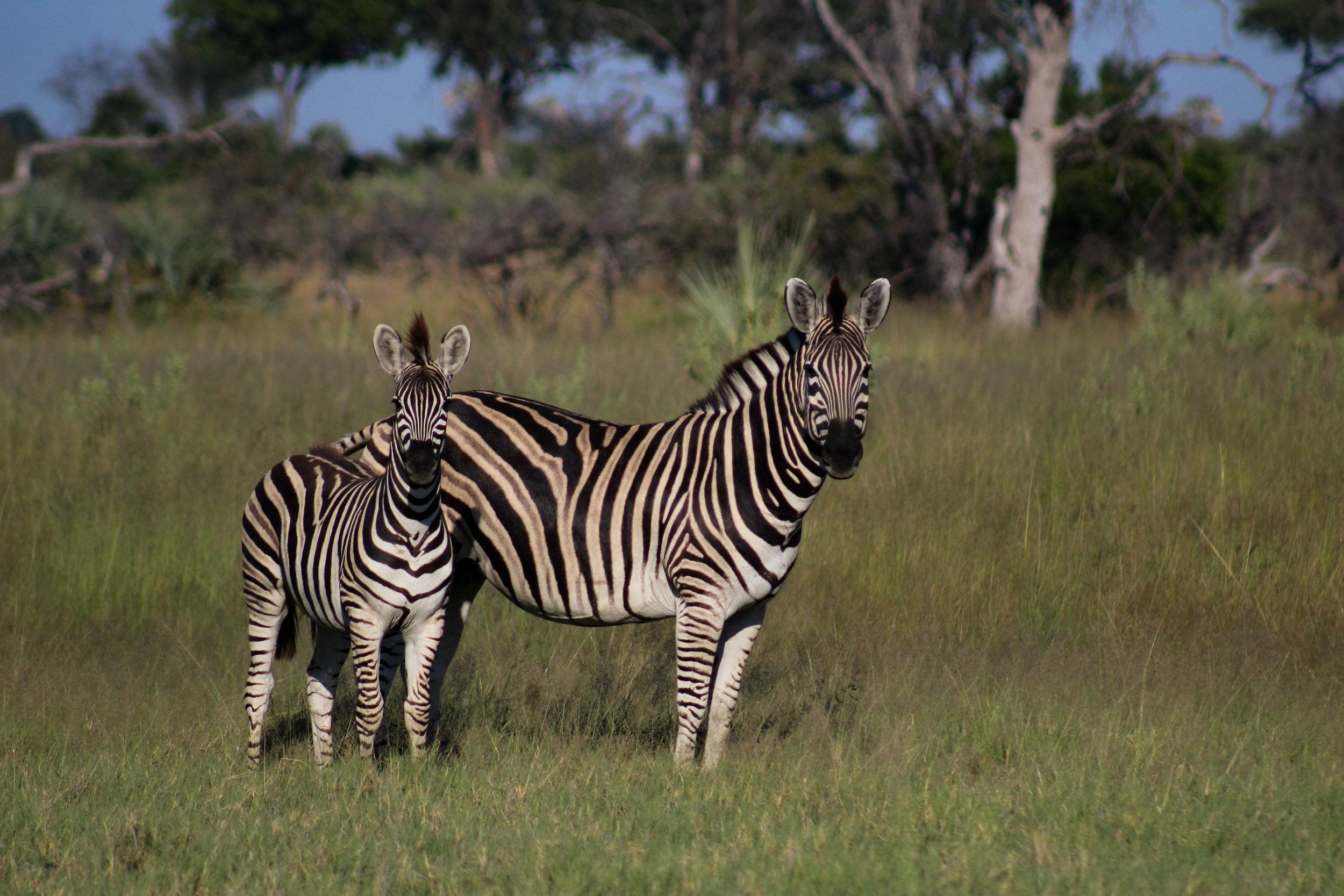 plains zebra and foal botswana (1 of 1).jpg