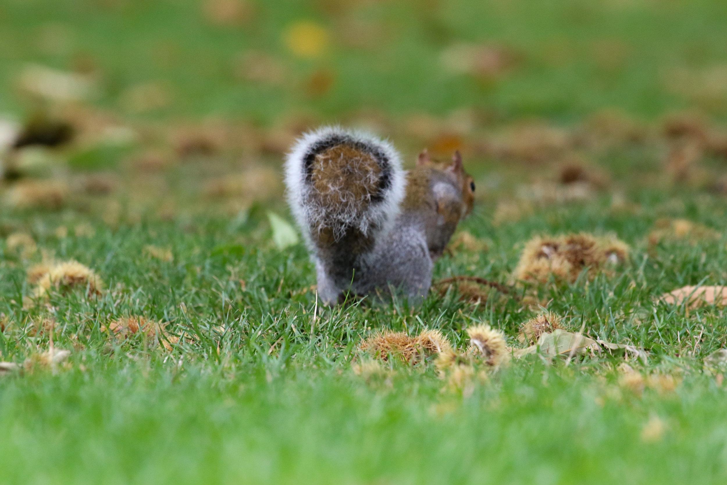 Hyde Park London eastern gray squirrel (1 of 1).jpg
