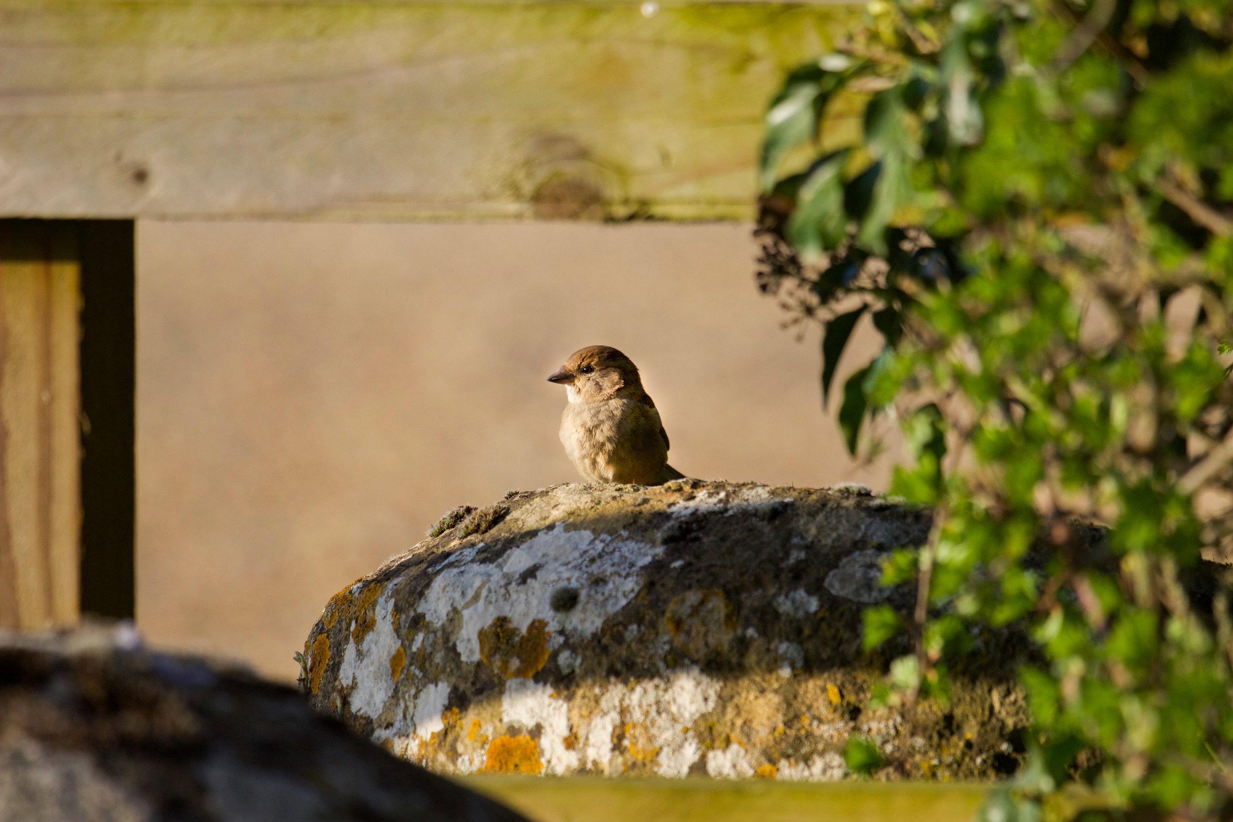 england sparrow on rock daylesford (1 of 1).jpg