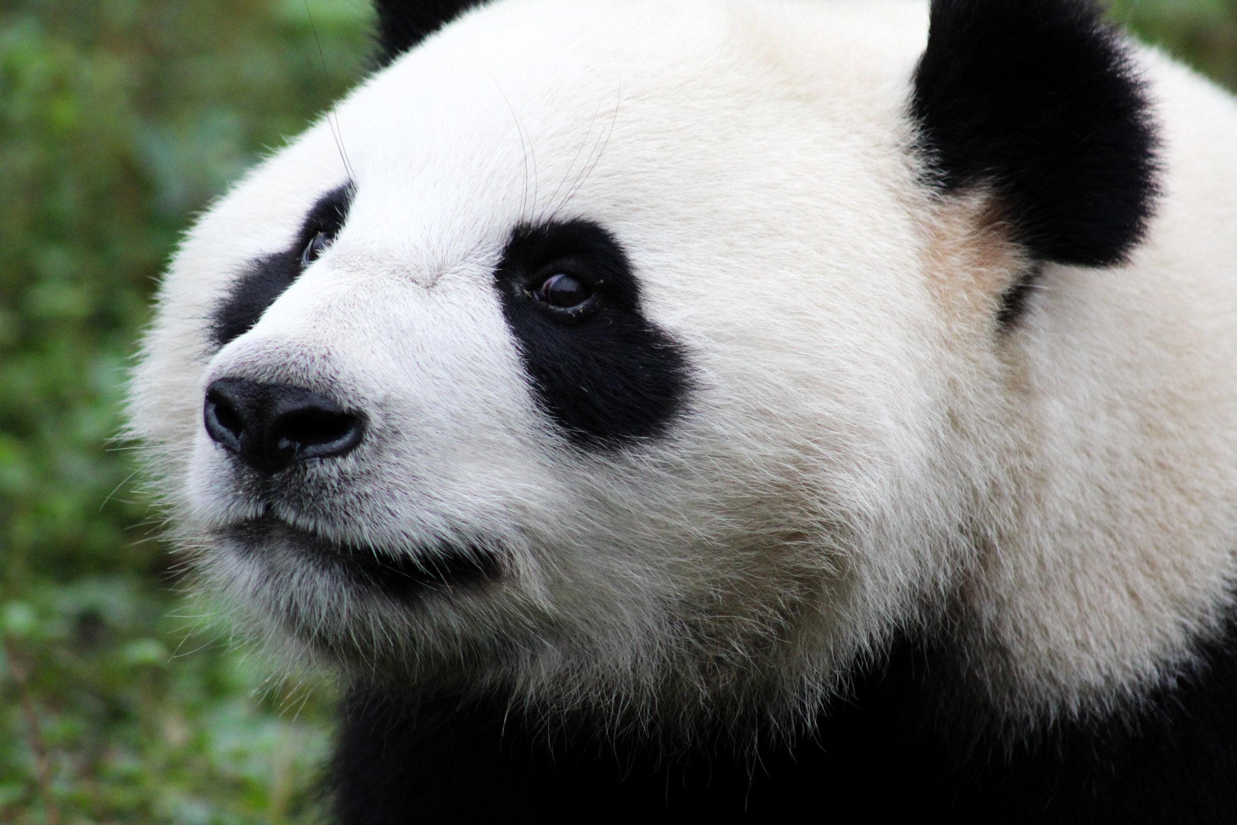 giant panda portrait chengdu china (1 of 1).jpg