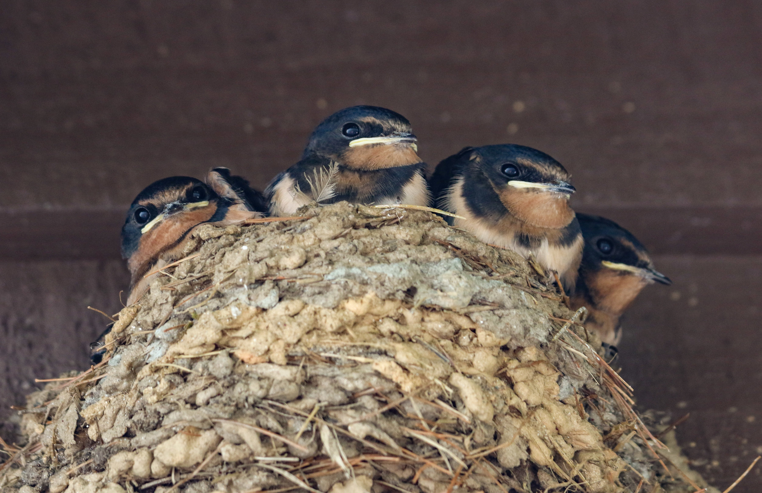 birds barn swallow chicks nest (1 of 1).jpg