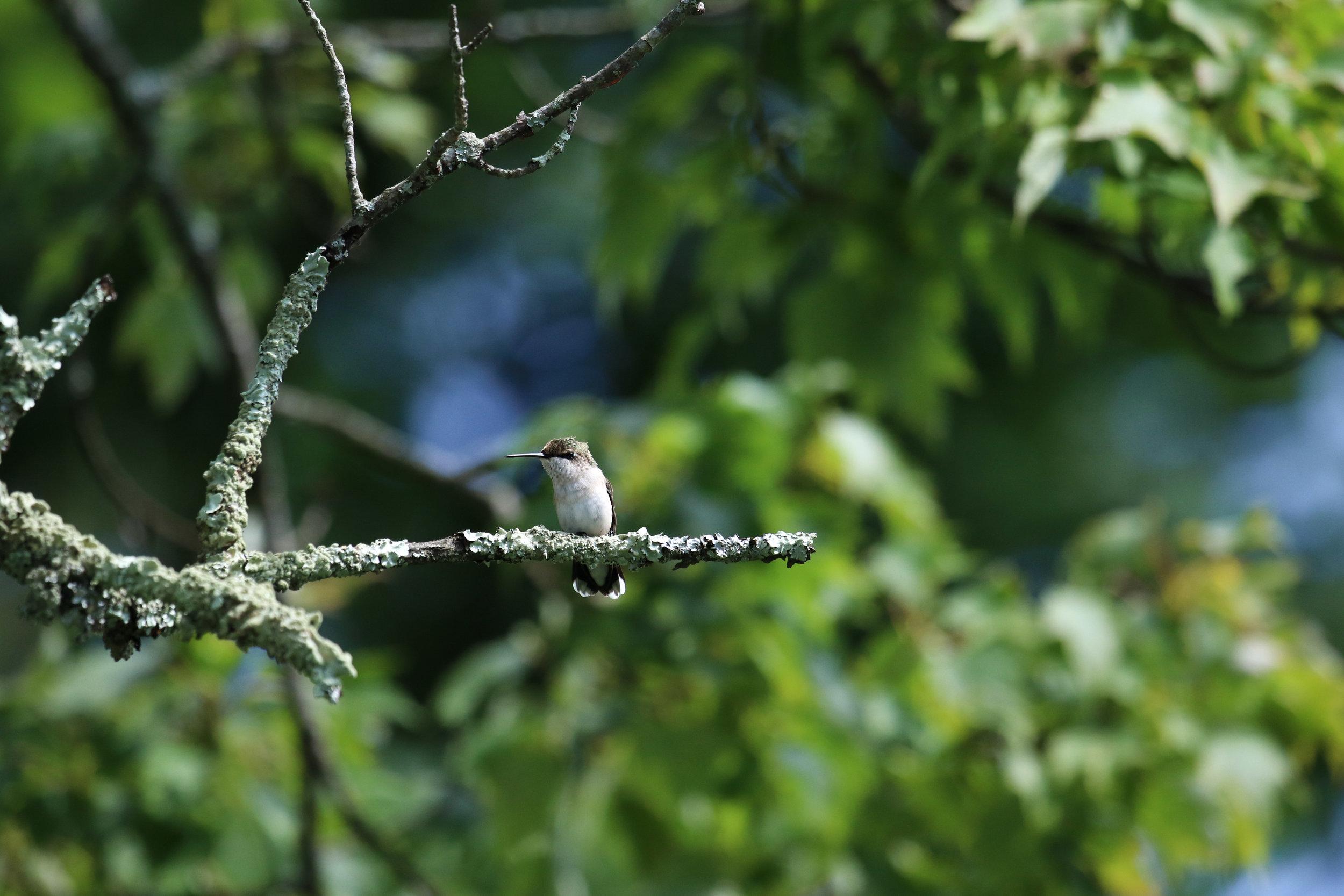 hummingbird on branch north carolina (1 of 1).jpg