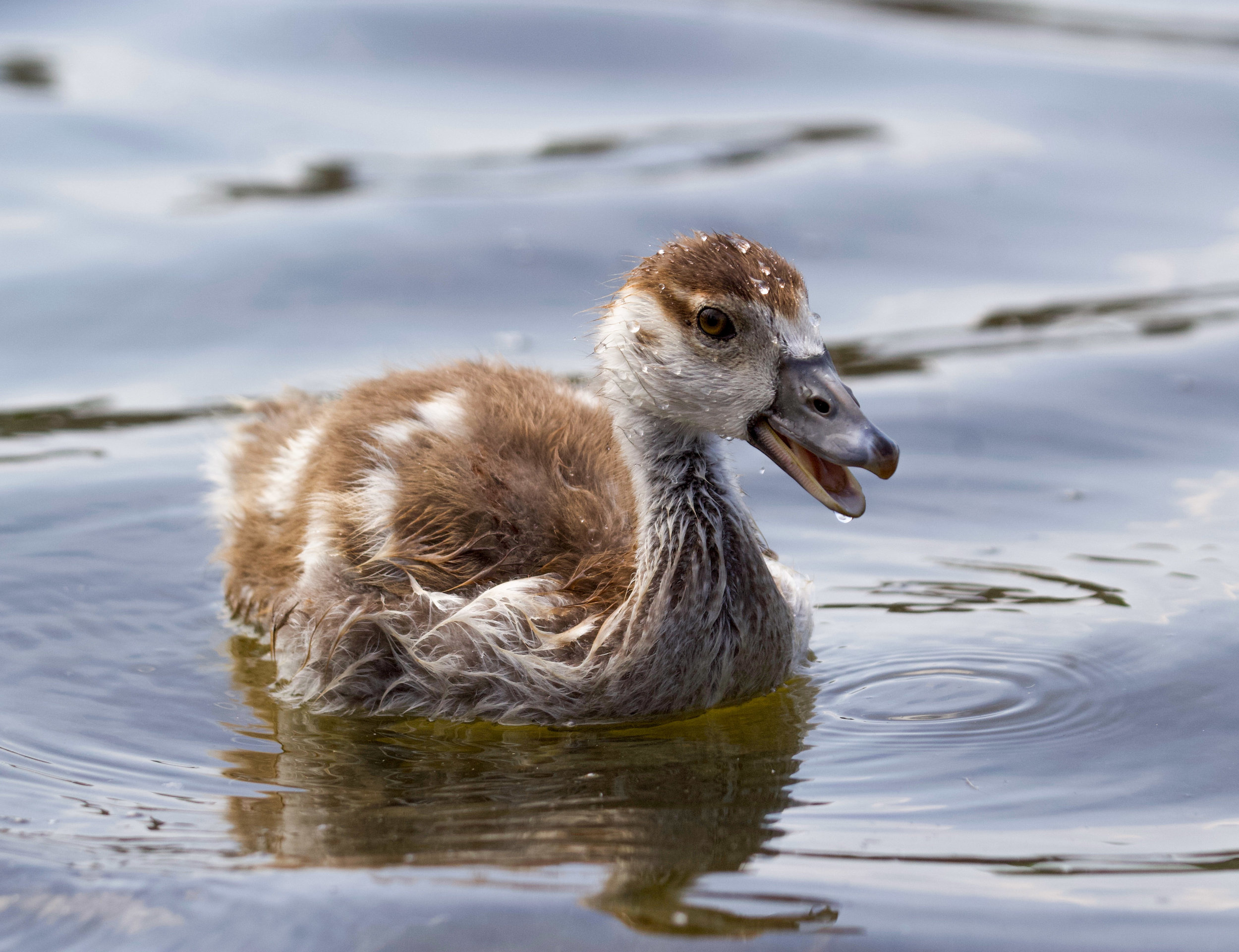 edited egyptian gosling water mouth (1 of 1).jpg