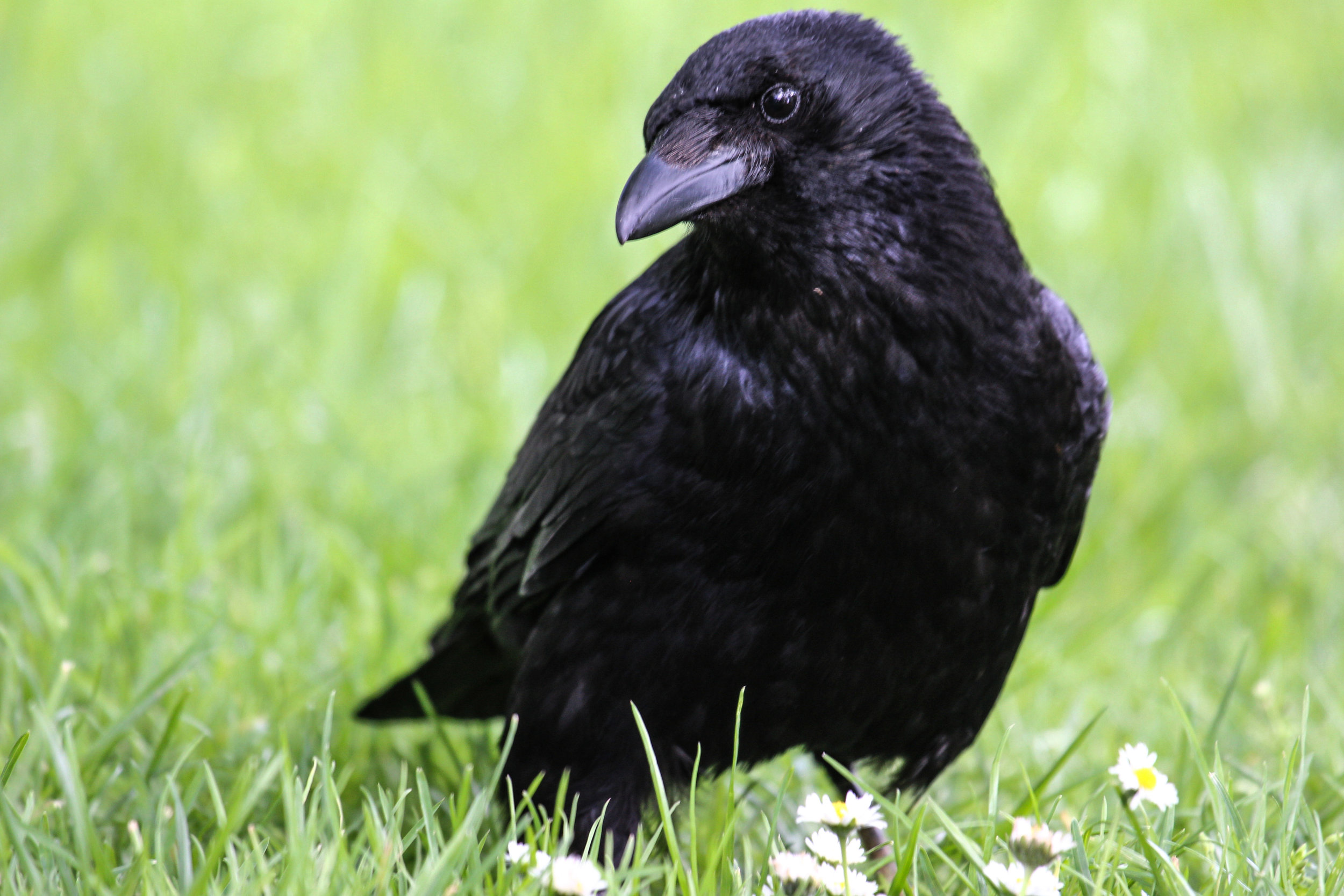 london hyde park bird raven (1 of 1).jpg